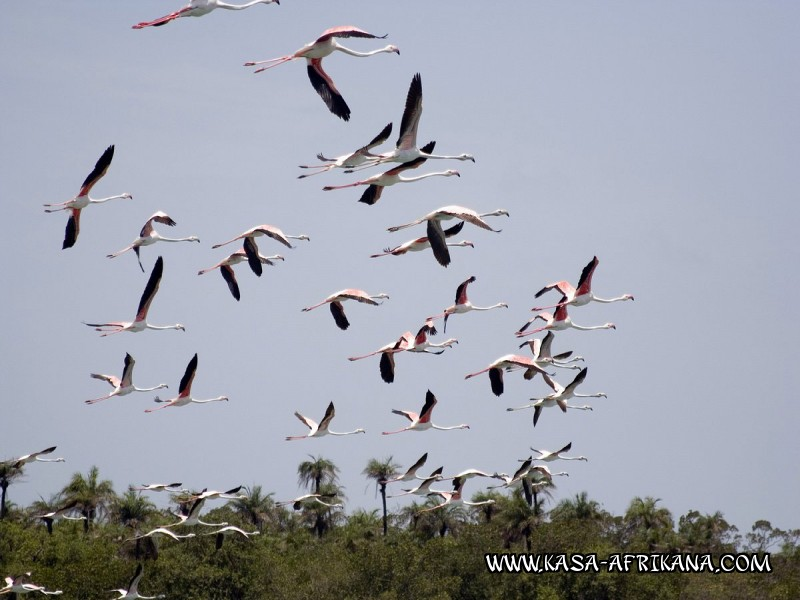 Photos Bijagos Island, Guinea Bissau : Local wildlife - Pink flamingo