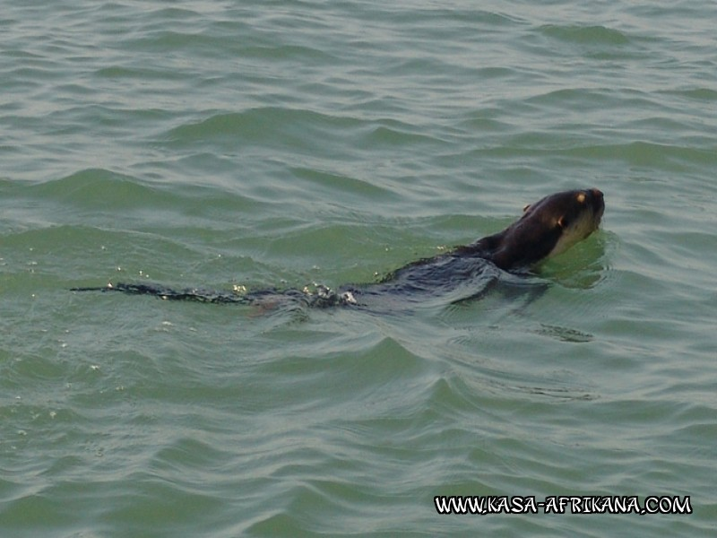Photos Bijagos Island, Guinea Bissau : Local wildlife - Otter