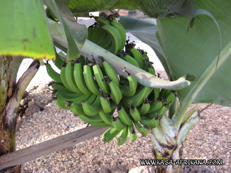 Photos Bijagos Island, Guinea Bissau : The hotel garden - Bananas from the garden