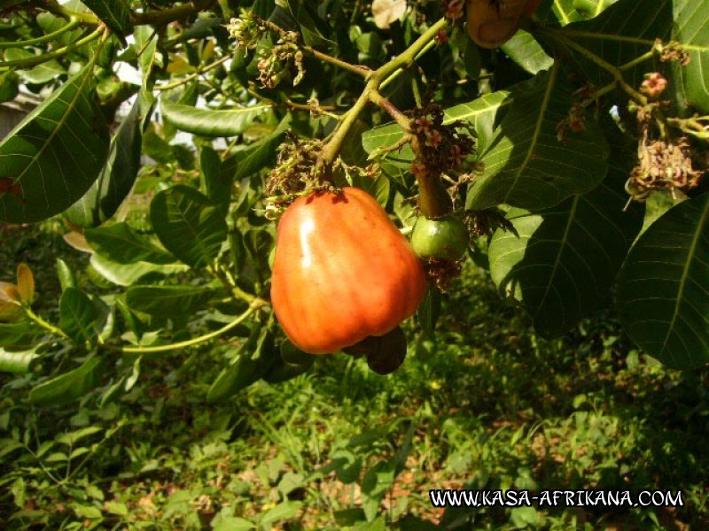 Photos Bijagos Island, Guinea Bissau : The hotel garden - Cashew apple