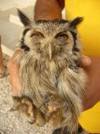 Photos of Bijagos Islands in Guinea Bissau : Owl