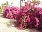 Photos of Bijagos Islands in Guinea Bissau : Bougainvillea