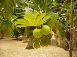 Photos of Bijagos Islands in Guinea Bissau : Fruit of the breadfruit