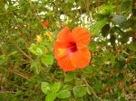 Photos of Bijagos Islands in Guinea Bissau : Hibiscus