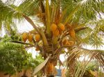 Photos of Bijagos Islands in Guinea Bissau : Coconut