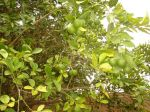 Photos of Bijagos Islands in Guinea Bissau : Oranges from the garden