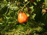 Photos of Bijagos Islands in Guinea Bissau : Cashew apple