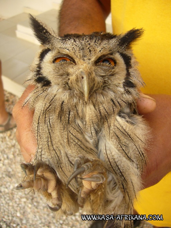 Photos Bijagos Island, Guinea Bissau : Local wildlife - Owl